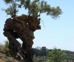 Uno degli olivi monumentali della Valle dei Templi di Agrigento.jpg