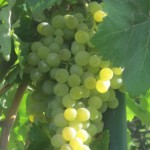 Grappolo di uva