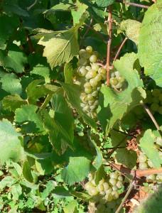 grappolo uva del salento