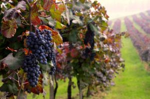 Vineyards-Colli-di-Parma-ph_Meridiana-Immagini-800x530